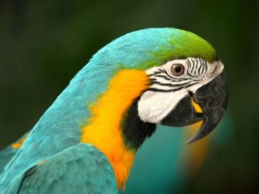Попугай-предсказатель