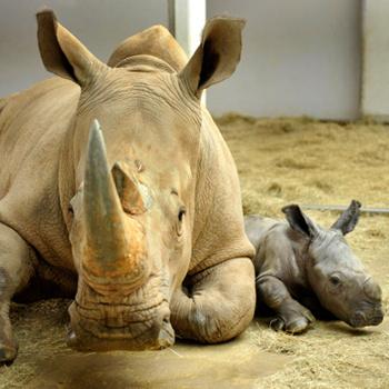 Кенди была первым белым носорогом, родившимся в Диснеевском зоопарке (Флорида). 11 лет спустя она сама стала мамой для чудесной девочки, 80-килограммовой «крохи». Кстати, вы знали, что белый носорог - второе по величине сухопутное животное на планете после слона?