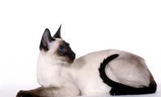 Балинезийская кошка: описание породы, характер, особенности ухода