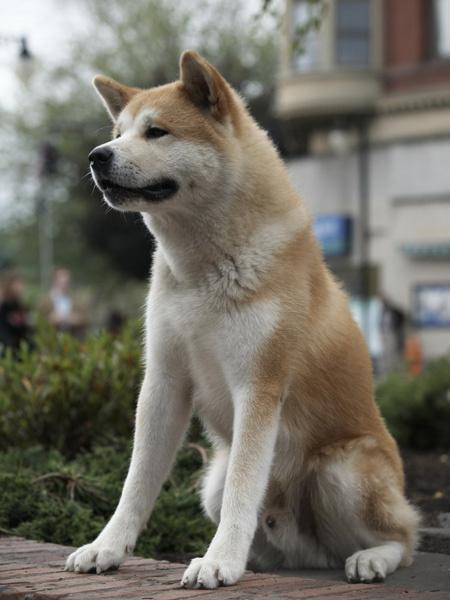 Животные актеры, собака Хатико