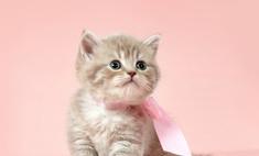 Породистые кошки – воспитанные питомцы