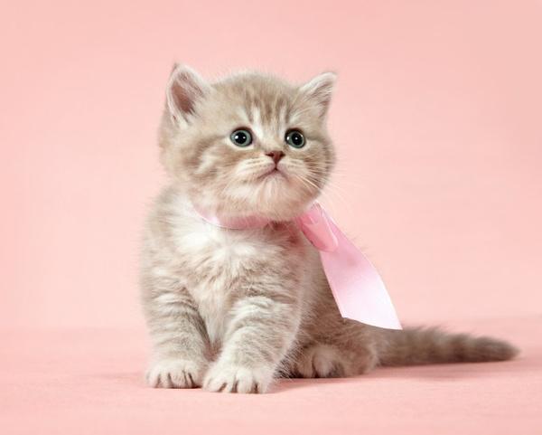 Породистые кошки – принципы воспитания. Видео