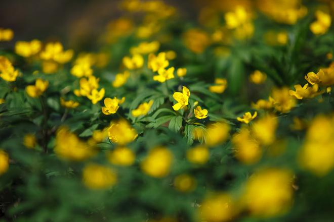 Весенник звездчатый выращивание из семян