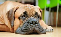 Если собака скучает дома без хозяев...