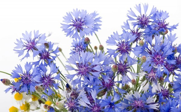 Полезные свойства синего василька