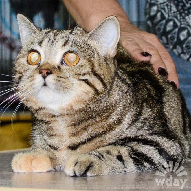 порода кошек страйк классического окраса