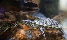 Экзотический любимчик: условия содержания красноухих черепах