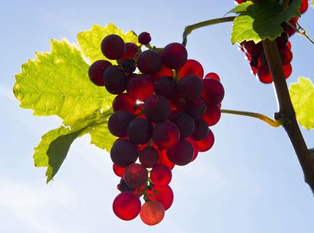 Праздник винограда