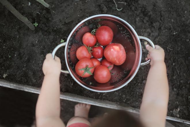 томат пинк