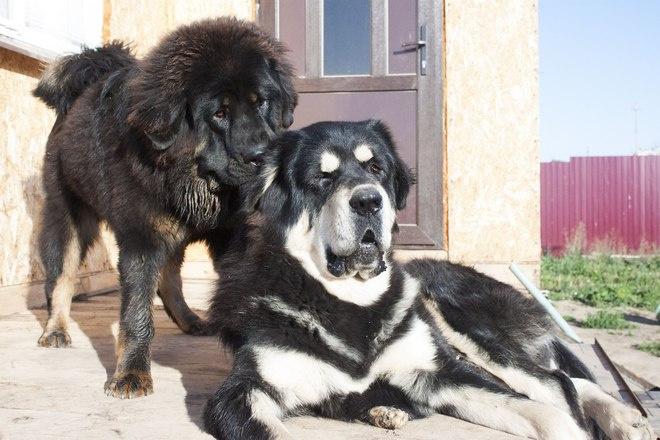 Лучший представитель породы среди тибетских мастифов