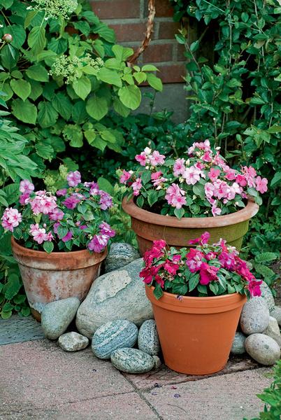 Функия и пеларгония любимых расцветок хозяйки.