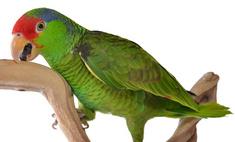 Необычная птица в доме – попугай амазон: правила содержания
