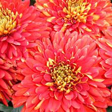Хризантема (красная)Любовь