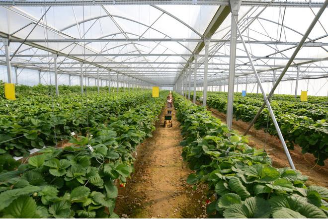 Выращивание черники в теплице круглый год 100