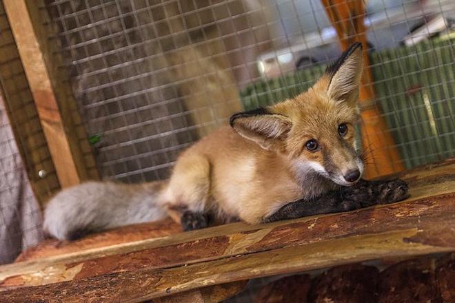 В Новосибирске объявлен конкурс имен для лисы