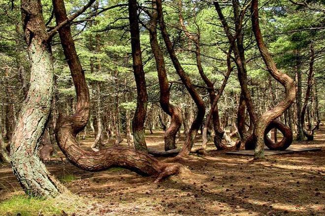 """Калининград. """"Танцующий"""" лес"""