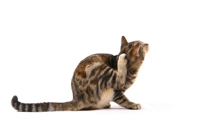 как чистить уши коту