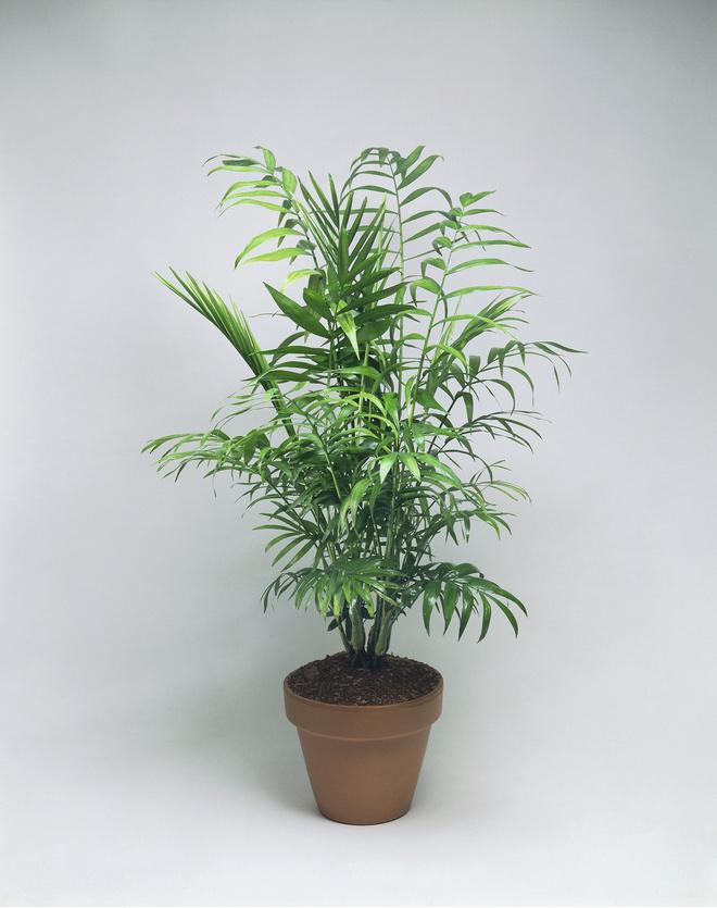 Пальмовые уход в домашних условиях 75