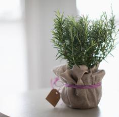 Ароматные травы на вашем подоконнике: выращиваем розмарин в горшке