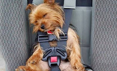 пристегнуть кота собаку других животных машине