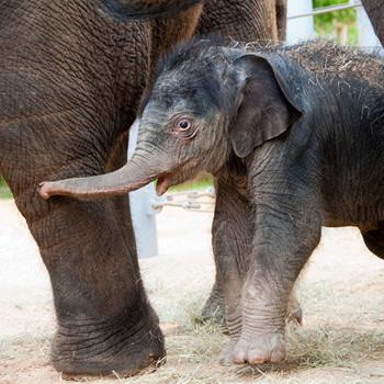 Слоненок Бэйлор из Хьюстонского зоопарка мог бы считаться самым младшим в стаде, но не тут-то было: этой осенью в зоопарке должен появиться детеныш слонихи Тесс. Впрочем, Бэйлор все равно является любимчиком. За ним, словно за родным, присматривают все самки местной слоновьей общины.