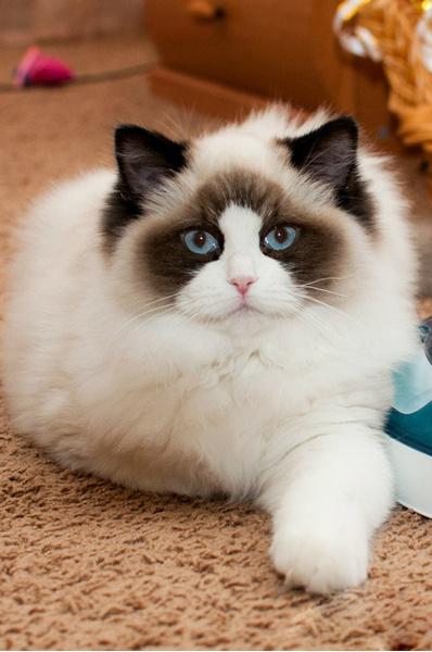 модные породы кошек, рэгдолл
