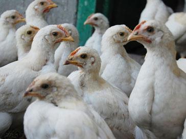 На немецкие фермы попало до 150 тыс. тонн ядовитого корма