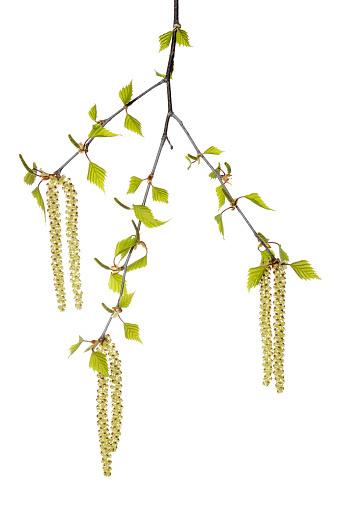 отвар из березовых листьев для волос
