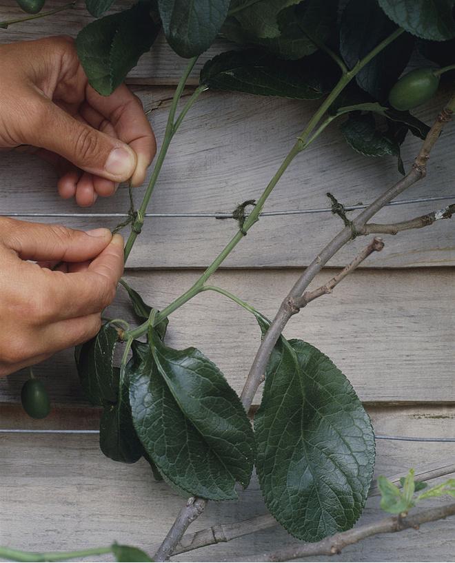 как вырастить сливу