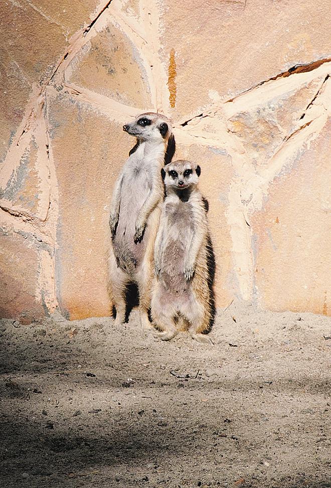 Сурикаты в Новосибирском зоопарке