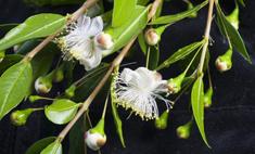Благоухающее деревце на вашем подоконнике: как вырастить мирт домашний