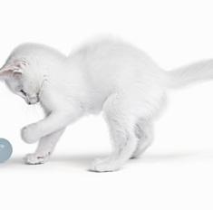Описание пород кошек белого окраса