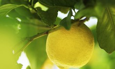 Эфирное лимонное масло – первый помощник при многих заболеваниях