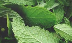 Как хранить мяту, чтобы сохранилась польза и аромат?