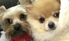 Ольга Бузова проколола своим собакам уши