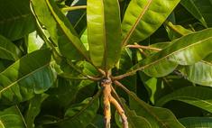 Экзотика в доме. Выращивание манго из косточки