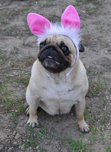 Мопс, стильная одежда для собак