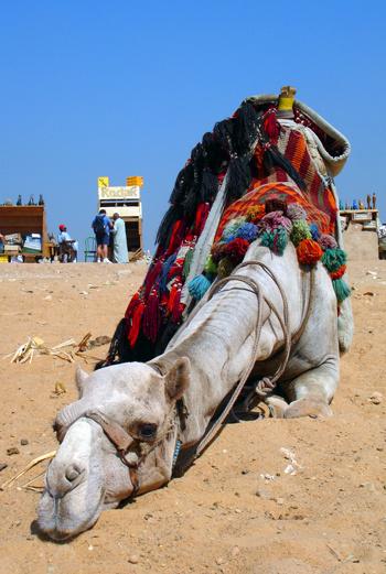За снимок с симпатичным верблюдом на фоне величественных пирамид придется отдать немало денег.