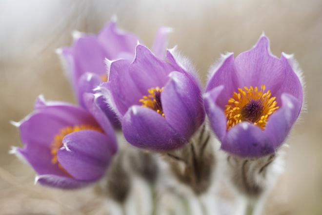 цветок прострел