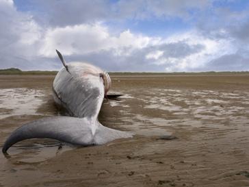 Тело мертвого кита
