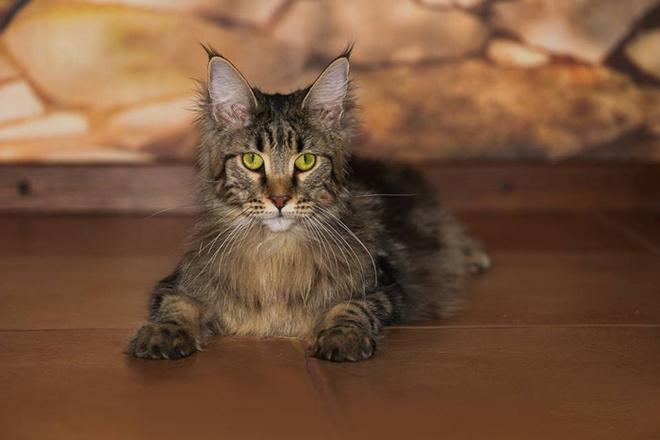 модные породы кошек, мейн-кун