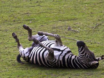 В результате возгорания Рижский зоопарк лишился нескольких животных