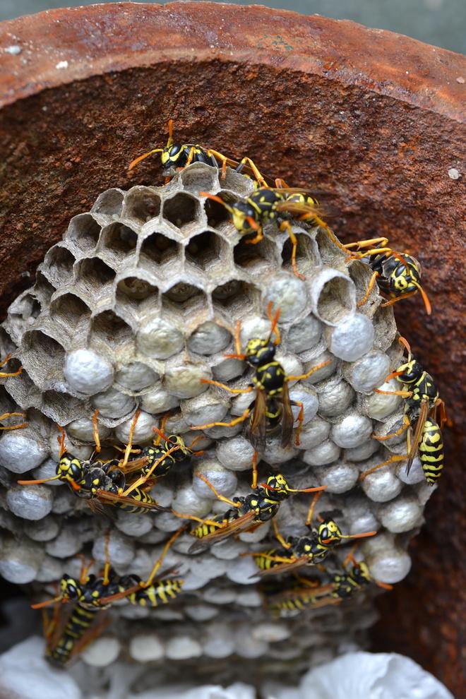 Как уничтожить осиное гнездо под крышей