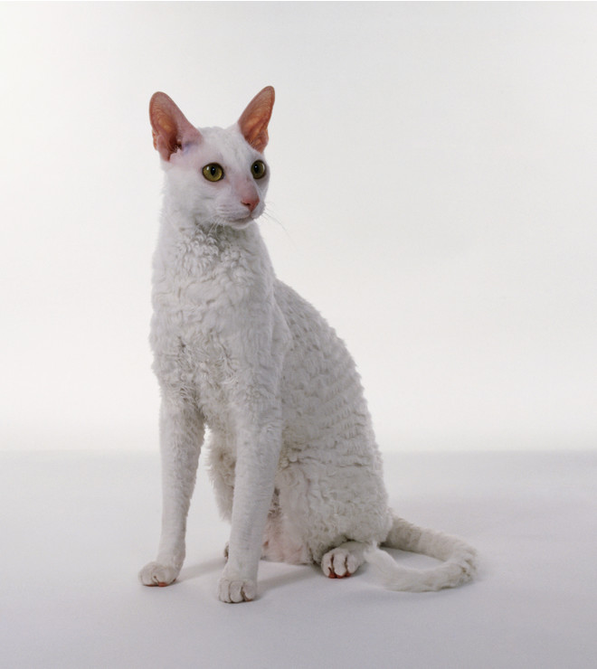 кошка корниш рекс