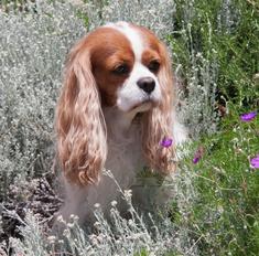 Королевские любимцы – собаки породы кавалер кинг чарльз спаниель