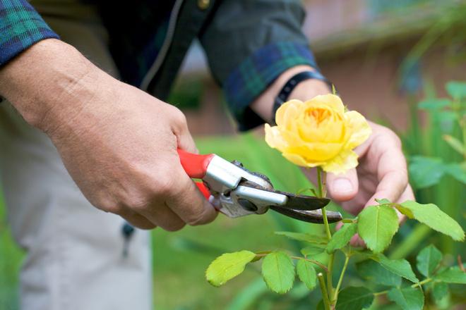 Как сажать розы весной?