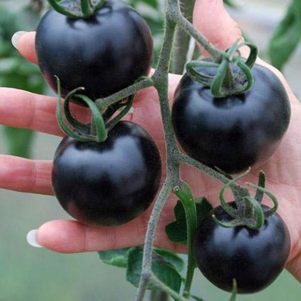 Урожай черных помидор