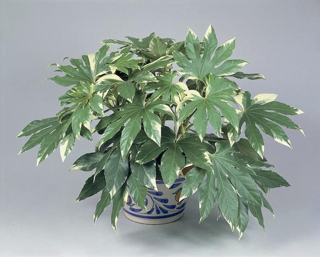 самые большие комнатные растения