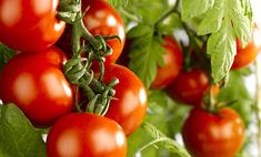 Выращиваем помидоры на балконе