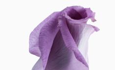 Пошаговая инструкция к чуду: как красят розы